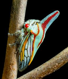 Platycostis vittata (Oak Treehopper) | Flickr - Photo Sharing!