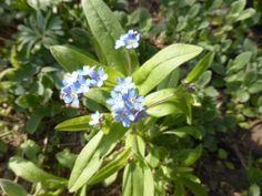 Forglemmigej; en vidunderlig lille vild forårsbebuder, som kommer nøjagtig der, hvor den selv synes. Eget foto.
