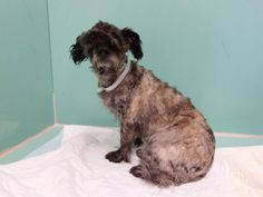 SUPER URGENT- 08/24/14 Brooklyn Center   My name is PRINCESZ. My Animal ID # is A1011136. I am a spayed female gray and black poodle min mix. The shelter thinks I am about 5 YEARS old.  I came in the shelter as a OWNER SUR on 08/19/2014 from NY 11220, owner surrender reason stated was ALLERGIES.   https://www.facebook.com/photo.php?fbid=859553867390827