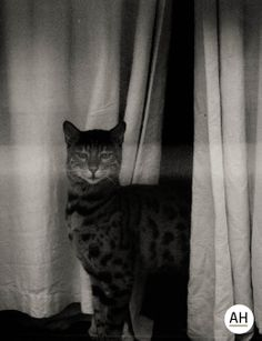 Brighton, UK, 2014, Canon EOS 600 D.  #uk #england #english #british #travel #travelling #travelphotojournalism #travelphotodiary #photography #night #blackandwhite #black #white #blacknwhite #bnw #bw #street #streets #streetphotography #streetlife #streetshot #streetculture #streetpic #light #shadow #2014 #canon #canoneos600d #50mm #portrait #cat #animals #animal #window #curtain