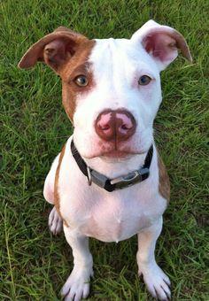 my favorite pit bull :)