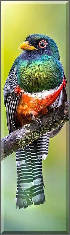 Masked-Trogon (Male) in Ecuador #by Brian Jones