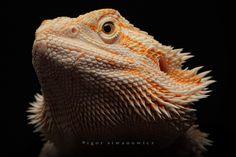 Image detail for -bearded dragon by `Blepharopsis on deviantART