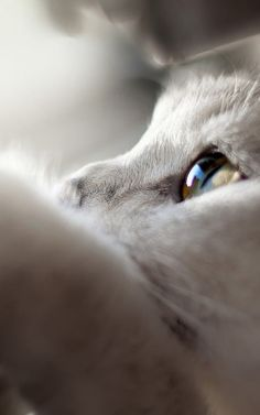 White Cat Looking Up iPhone 6 Plus HD Wallpaper