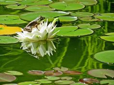 Frog is sitting on top of a white Water Lily, which is reflected on the water surface of the pond at our New Hampshire garden in New England.