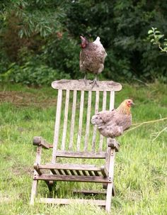 chickens on an old chair