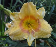 PLANTS-DAYLILY- H. Russian Easter
