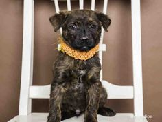 02/17/15-HOUSTON - SUPER URGENT - TIME IS UP!! BRAD - ID#A424771  My name is BRAD. I am a male, brown and black Labrador Retriever mix.  The shelter staff think I am about 11 weeks old.  I have been at the shelter since Feb 12, 2015.