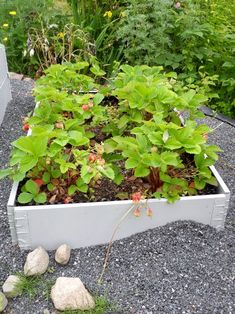 Inspirasjon: Kjøkkenhage – Pallekarm Sweet Potato Plant, Purple Sweet Potatoes, Lemon Lime Nandina, Ornamental Kale, Fountain Grass, Fall Containers, Potato Vines, Fall Planters, Yellow Daisies