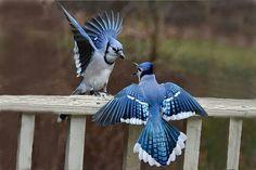 Two bluejays