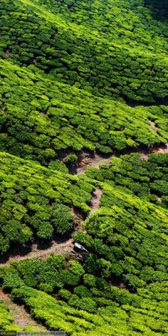 Tea Plantations - Kerala, India - done