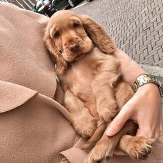 14 Magnificent Facts About English Cocker Spaniels Perro Cocker Spaniel, English Cocker Spaniel Puppies, Cocker Spaniel Dog, Cute Baby Dogs, Cute Dogs And Puppies, Cute Baby Animals, Doggies, Corgi Puppies, Pet Dogs