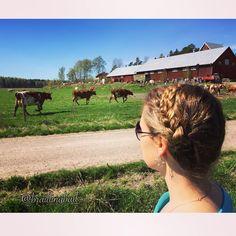 #maitotyttöletti ja laitumelle päästetyt onnelliset lehmät ☀️☘ #milkmaidbraid…