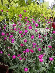 "Lychnis coronaria ""Rose Campion"" - Buy Online at Annie's Annuals & Perennials"
