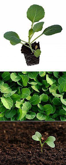 12 секретов выращивания рассады капусты.