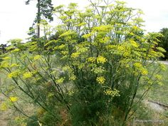 WILD FENNEL (Foeniculum vulgare) Credit Phil Bendle Collection:Foeniculum vulgare (Fennel) - CitSciHub Foeniculum Vulgare, Edible Wild Plants, Queen Annes Lace, Drought Tolerant, Fennel, Garden Plants, Perennials, Planting Flowers, Seeds