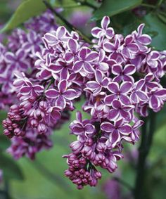 Cheap seeds for flowers, Buy Quality seeds flower seed directly from China seeds for garden Suppliers: Lilac Seeds Syringa vulgaris Sensation Seeds Lilac Flower Tree Seeds For Bonsai Perennial Garden Aromatic Plant Seeds Lilac Flowers, Edible Flowers, Beautiful Flowers, Purple Lilac, Purple Roses, Garden Shrubs, Garden Plants, Roses Garden, Fruit Garden
