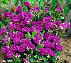 Cottage Farms 3-piece Veranda Rose Collection - gorgeous vibrant shades