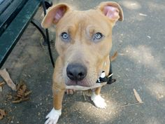 TO BE DESTROYED 8/20/14 Manhattan Center -P  My name is BOOMER. My Animal ID # is A1009350. I am a male brown and white pit bull mix. The shelter thinks I am about 1 YEAR 6 MONTHS old.  I came in the shelter as a STRAY on 08/05/2014 from NY 10031, owner surrender reason stated was STRAY. https://www.facebook.com/Urgentdeathrowdogs/photos/a.611290788883804.1073741851.152876678058553/851992054813675/?type=3&theater