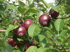 Malus domestica Pekka, höstsort. Nytt finskt äpple. Trädet är småväxt och rätt glest. Frukten är medelstor eller litet. På mognad frukt kan inte bottenfärgen skönjas, täckfärgen är mörkt purpurröd. . Smaken är söt och anses god. Äpplet är moget i slutet av september. Bild: Taimistoviljelijät