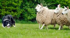 A sheepdog working closely with sheep herding-dog-training-border-collie-sheep