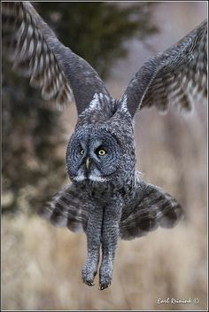 Great Grey Owl (Strix nebulosa) in flight Amazing Animals, Animals Beautiful, Cute Animals, Wild Animals, Baby Animals, Strix Nebulosa, Great Grey Owl, Owl Pictures, Beautiful Owl