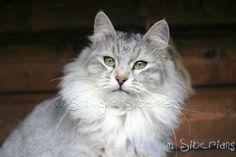 Gray Siberian Cat | Snow Bengal Cat Info Silver Cats Is A Populer