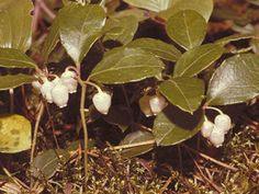 Gaultheria procumbens (teaberry) - pretty ground cover - berries and leaves taste like mint and grow under the snow