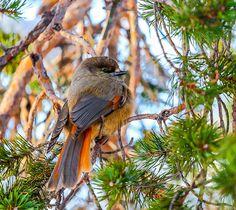 Kuukkeli - Perisoreus infaustus - Photo by Kalevi Asikainen Buddy Holly, My Land, Bats, Painting Inspiration, Natural Beauty, Tourism, Best Friends, Scenery, Creatures