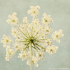 Queen Ann's Lace  http://www.etsy.com/listing/61151917/shabby-chic-art-floral-art-print-in-aqua