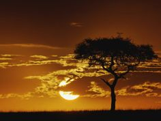 Acacia tortilis, (Umbrella Thorn Acacia Tree), Serengeti National