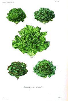 Lettuces: Botanical – Fruits, Veggies – 2
