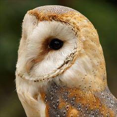 Portrait Barn Owl (Kerkuil) by Foto Martien, via Flickr