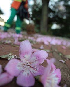 Servidora da Comurg varre calçada com flores de paineira. Ela me disse que por ela não faria a limpeza pois a beleza das flores compõem a paisagem da cidade #goiania #goias #pracadosol #comurg #canon #flores #flowers #cores #colors #vendogoiania by mlldantas http://ift.tt/1THwBHH