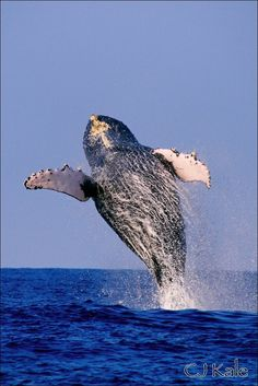Humpback whale breaching!