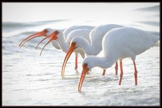 Ibis Quartet - Fort Myers Beach, Florida // photo by Gregory Wagner