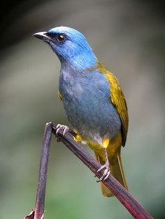 Thraupis cyanocephala / Azulejo montañero / Blue-capped Tanager