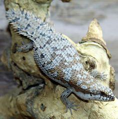 Spiny tail skink (Egernia depressa)
