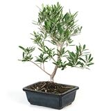 Easternleaf.com - Azalea Bonsai Trees and other Flowering Bonsai Trees - Starting at Only $35.