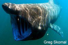 Canadian Wildlife Federation: Basking Shark