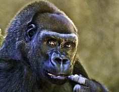 Animal Intelligence - Great Apes