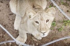 'Blood Lions': Conservationists Infiltrate Hunts of Captive Big Cats in South Africa | TakePart