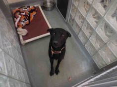 """Just look at this beautiful girl """"TINK"""" (very lovable) She is patiently waiting for someone to love her forever!!!! Come down & meet this sweetheart soon!!! Western Pa H.S. Pittsburgh, Pa...PetHarbor.com: Animal Shelter adopt a pet; dogs, cats, puppies, kittens! Humane Society, SPCA. Lost & Found."""