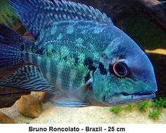 Hoplarchus psittacus, a true parrot. South American Cichlids, Aquarium Setup, Tropical Fish Tanks, Underwater Creatures, Freshwater Fish, Life Images, Parrot, Africa, Sea