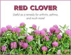 Red clover: a natural remedy for arthritis and asthma! It can be used in tea, as a flour additive, added to salads, soups, and even as a vitamin supplement!