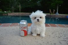 Monte The Maltese Is The Cutest Puppy You'll EverMeet // there's a puppy named after me!