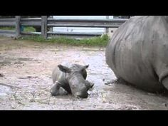 Baby Rhino Learns to Roll
