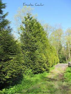Excelsa Cedar Fast growing cedar Thuja plicata Excelsa cedar Ornamental Western Red Cedar