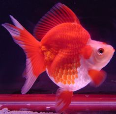 Exotic Goldfish - Ryukin Goldfish