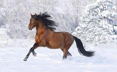 Cavallo nella neve, Bruno cavallo, cavallo da corsa wallpaper